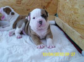 Foto 6 Old.English.Bulldog Welpen