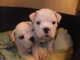 Olde English Bulldog ''BunzelBulls''