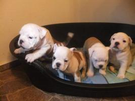Foto 4 Olde English Bulldog ''BunzelBulls''