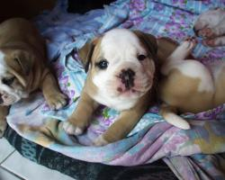 Foto 8 Olde english Bulldog Welpen