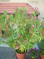 Foto 3 Oleander rosé abzugeben