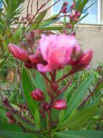 Foto 4 Oleander rosé abzugeben