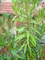 Foto 5 Oleander rosé abzugeben