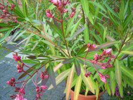Foto 6 Oleander rosé abzugeben