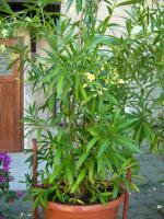 Foto 3 Oleander weiß-gelb im Kübel
