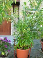 Foto 4 Oleander weiß-gelb im Kübel