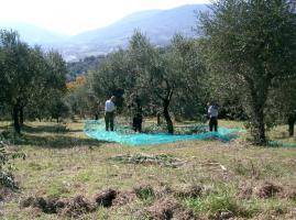 Olivenhain mit 220 B�umen ital. Adria bei Pescara