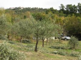 Foto 2 Olivenhain mit 220 B�umen ital. Adria bei Pescara