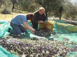 Olivenhain mit 220 Bäumen ital. Adria bei Pescara