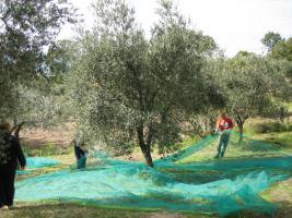 Foto 2 Olivenhain mit 220 Bäumen ital. Adria bei Pescara
