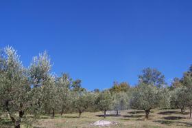 Foto 2 Olivenhain mit 220 Bäumen ital. Adria bei Pescara 13010 qm Grund