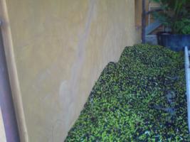 Foto 2 Oliven�l aus Imperia, Direktverkauf von Bauer, wir sprechen Deutsch