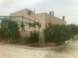 Olivenplantage in Jordanien ( Madaba Umm-Rasas )