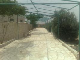 Foto 4 Olivenplantage in Jordanien ( Madaba Umm-Rasas )