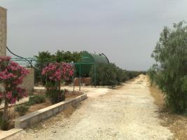 Foto 6 Olivenplantage in Jordanien ( Madaba Umm-Rasas )