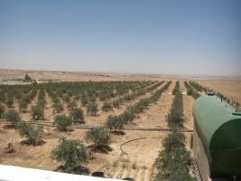 Foto 10 Olivenplantage in Jordanien ( Madaba Umm-Rasas )