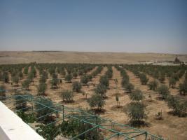 Foto 11 Olivenplantage in Jordanien ( Madaba Umm-Rasas )