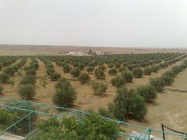 Foto 12 Olivenplantage in Jordanien ( Madaba Umm-Rasas )
