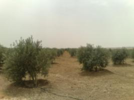 Foto 13 Olivenplantage in Jordanien ( Madaba Umm-Rasas )