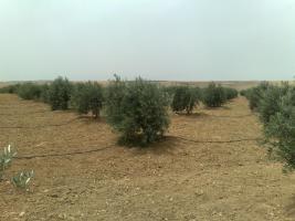 Foto 14 Olivenplantage in Jordanien ( Madaba Umm-Rasas )