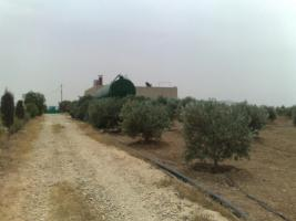 Foto 15 Olivenplantage in Jordanien ( Madaba Umm-Rasas )