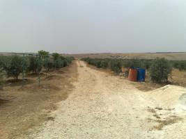 Foto 16 Olivenplantage in Jordanien ( Madaba Umm-Rasas )