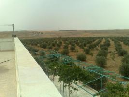 Foto 17 Olivenplantage in Jordanien ( Madaba Umm-Rasas )