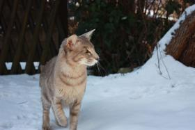 Oriental Langhaarkater, lilac spotted tabby, 2Jahre jung