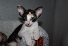 Orientalisch Kurzhaar Kitten zu vergeben