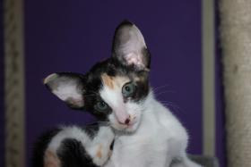 Foto 2 Orientalisch Kurzhaar Kitten zu vergeben