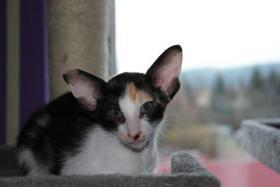 Foto 3 Orientalisch Kurzhaar Kitten zu vergeben