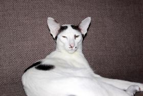 Foto 4 Orientalisch Kurzhaar Kitten zu vergeben