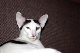 Foto 5 Orientalisch Kurzhaar Kitten zu vergeben