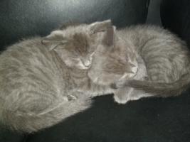 Orientalische kurz haar -Russisch blau kitten