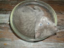 Foto 2 Orientalische kurz haar -Russisch blau kitten