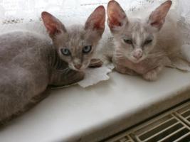 Foto 2 Original LaPerm-Kitten
