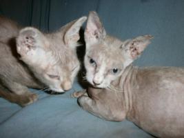 Foto 3 Original LaPerm-Kitten