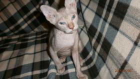 Foto 4 Original LaPerm-Kitten