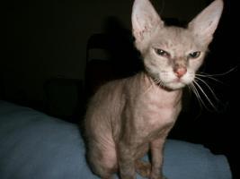 Foto 5 Original LaPerm-Kitten