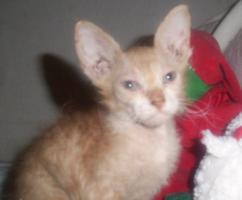 Foto 2 Original LaPerm shorthair Kitten