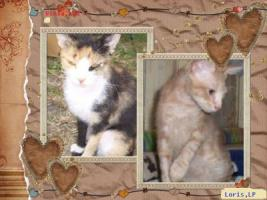 Foto 4 Original LaPerm shorthair Kitten