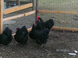 Orpington-Hühner