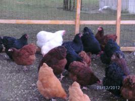 Foto 3 Orpington-Hühner