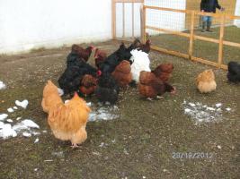 Foto 4 Orpington-Hühner