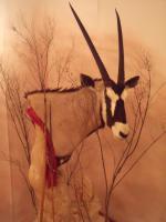 Foto 2 Oryx Kopf- u. Schulterpräparation auf Podest