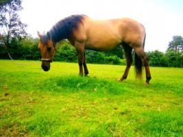 Ouarter Horse