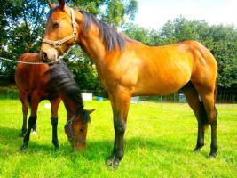 Foto 7 Ouarter Horse