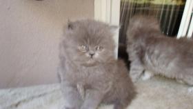 Foto 3 PERSER-CHINCHILA BABYS