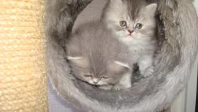 Foto 4 PERSER-CHINCHILA BABYS