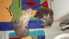 Foto 5 PERSER-CHINCHILA BABYS